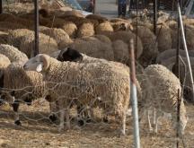 Des moutons de l'Aïd Al-Adha © L'Internaute