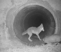 coyote blaireau