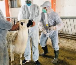 Aïd al-Adha : l'opération d'identification des ovins et caprins se poursuit