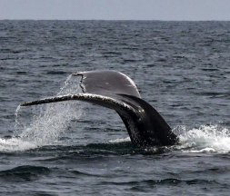 Découverte d'une nouvelle espèce de baleine au Mexique