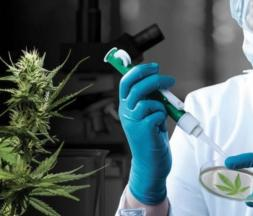 Légalisation du cannabis : la controverse se poursuit