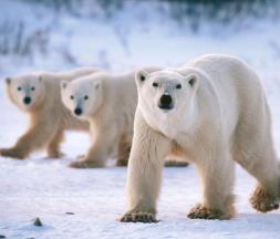 Ours polaires photographiés au Canada © SIPA