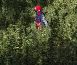 Le Maroc envisage une légalisation de la culture du cannabis pour un usage thérapeutique © DR
