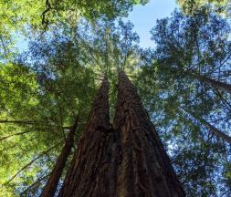 Nature : pourquoi les arbres ne dépassent-ils pas 138 m ?