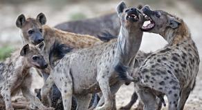 Les hyènes sont des animaux carnivores ultra dangereux © DR