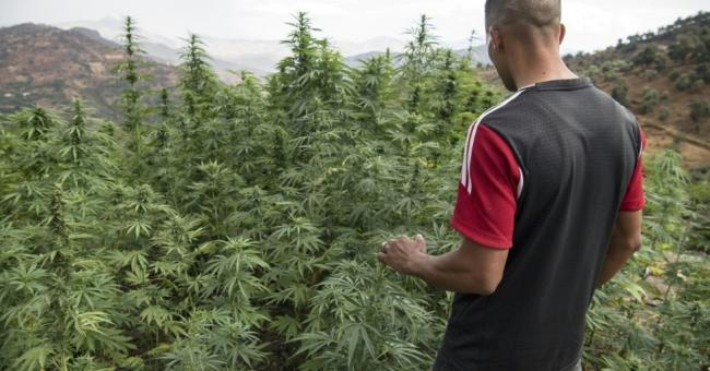 cannabis et ses dérivés