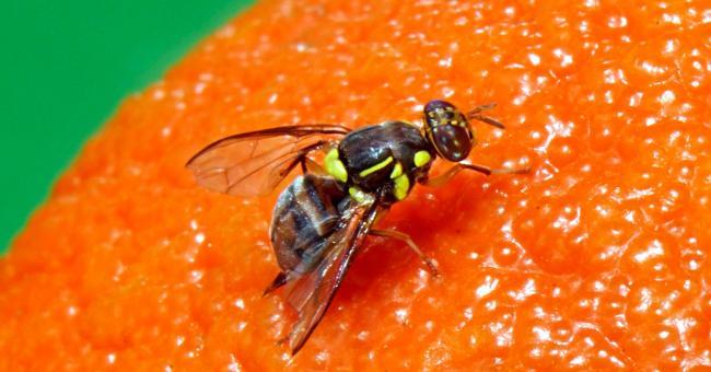 mouches stériles