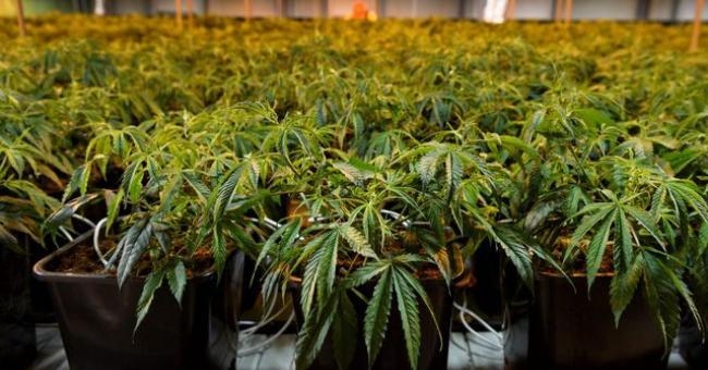 Le projet de loi sur le cannabis a été adopté en Conseil de gouvernement © DR