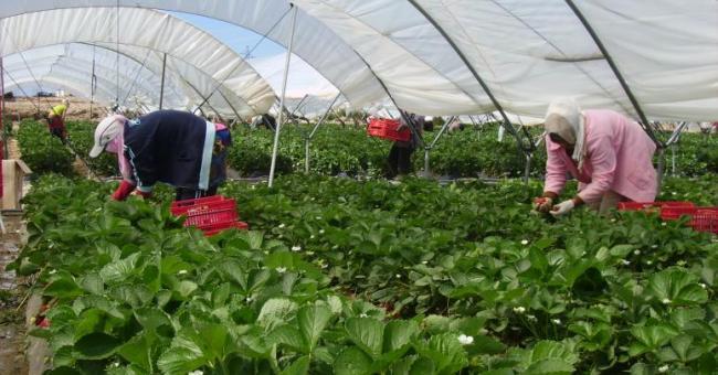 Des milliers de travailleuses saisonnières marocaines viennent travailler dans les fermes de la région de Huelva en Espagne © Chadia Arab