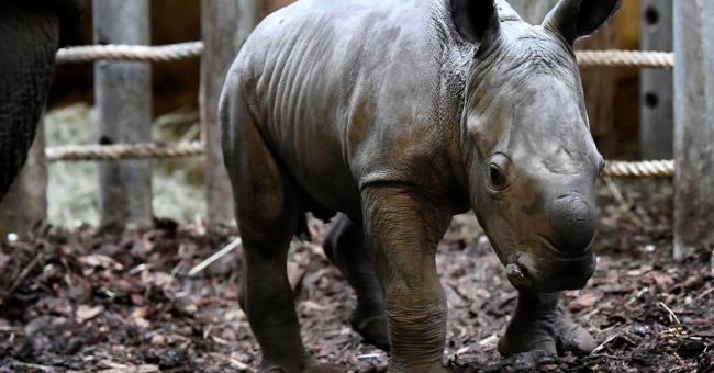 Pays-Bas : naissance d'un rhinocéros le dimanche de Pâques