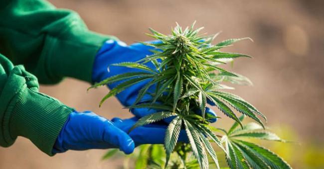 Le projet de loi sur l'usage licite du cannabis passe le cap de la Chambre des conseillers © DR