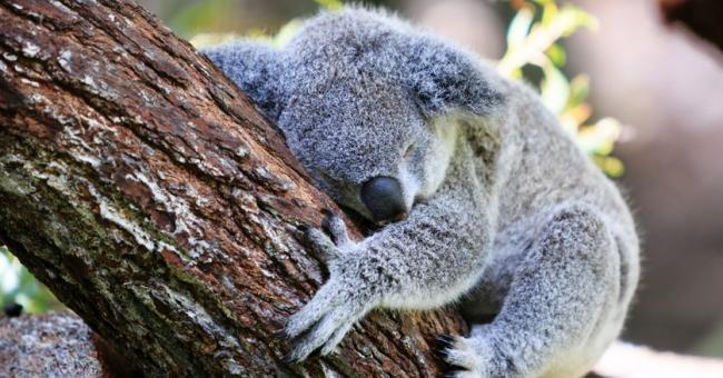 Un koala dort sur une branche d'arbre © Pierre MOATI - Getty