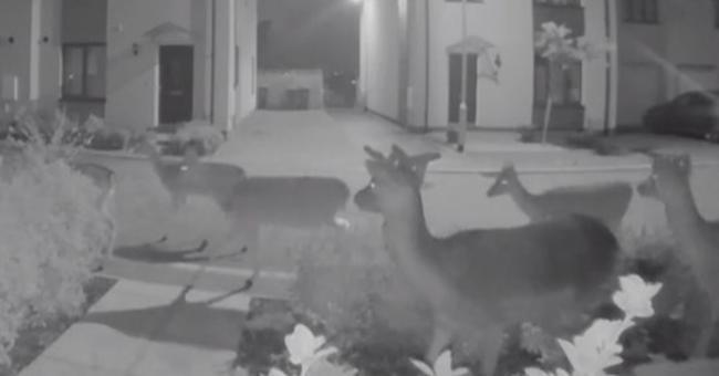 USA/Texas : un troupeau de cerfs défie le froid