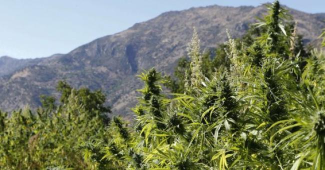 Le projet de loi sur la légalisation du cannabis a été reporté à une date ultérieure © DR