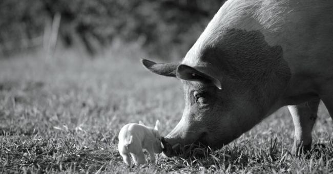 Gunda, un documentaire sur la vie d'un cochon