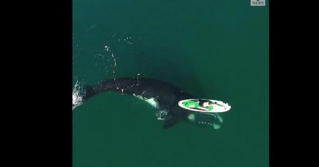 L'incroyable vidéo d'une baleine qui joue avec un paddle © Capture d'écran, ABC News